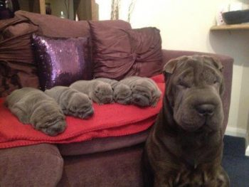 Photo of a mama shar pei and her five puppies