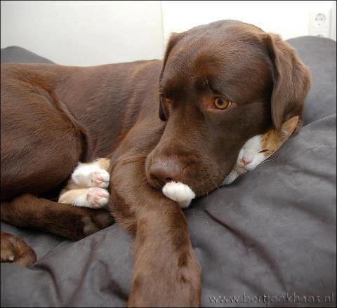 "Photo: A dog cuddling a cat: ""The cat? No, I haven't seen him"""