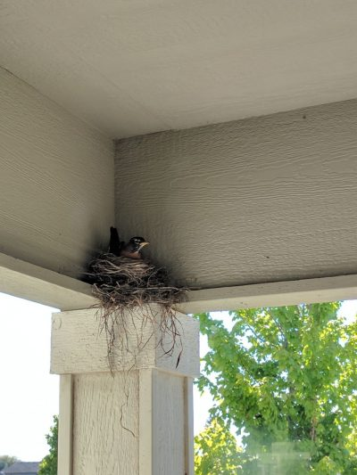 Photo: a bird sitting in its nest, which was built on the front porch